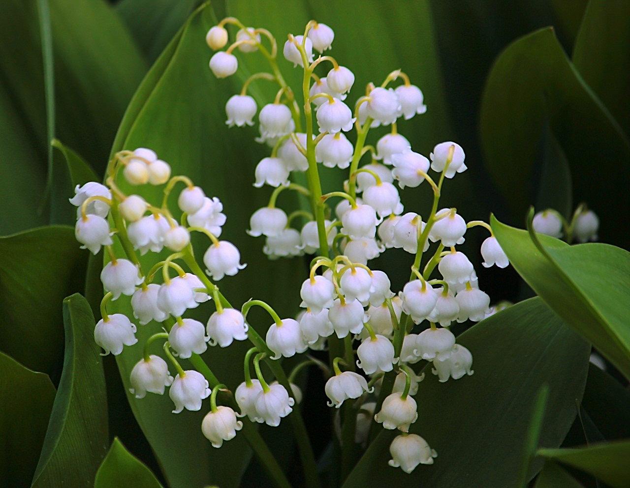 ландыш серебристый цветок фото странице представлен