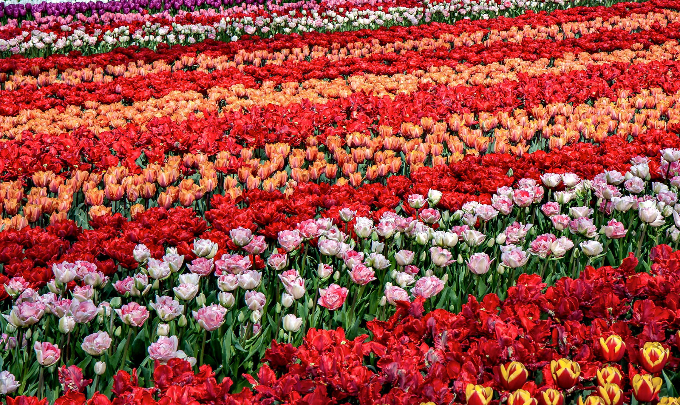 Tulips in Holland 04-2015(1)