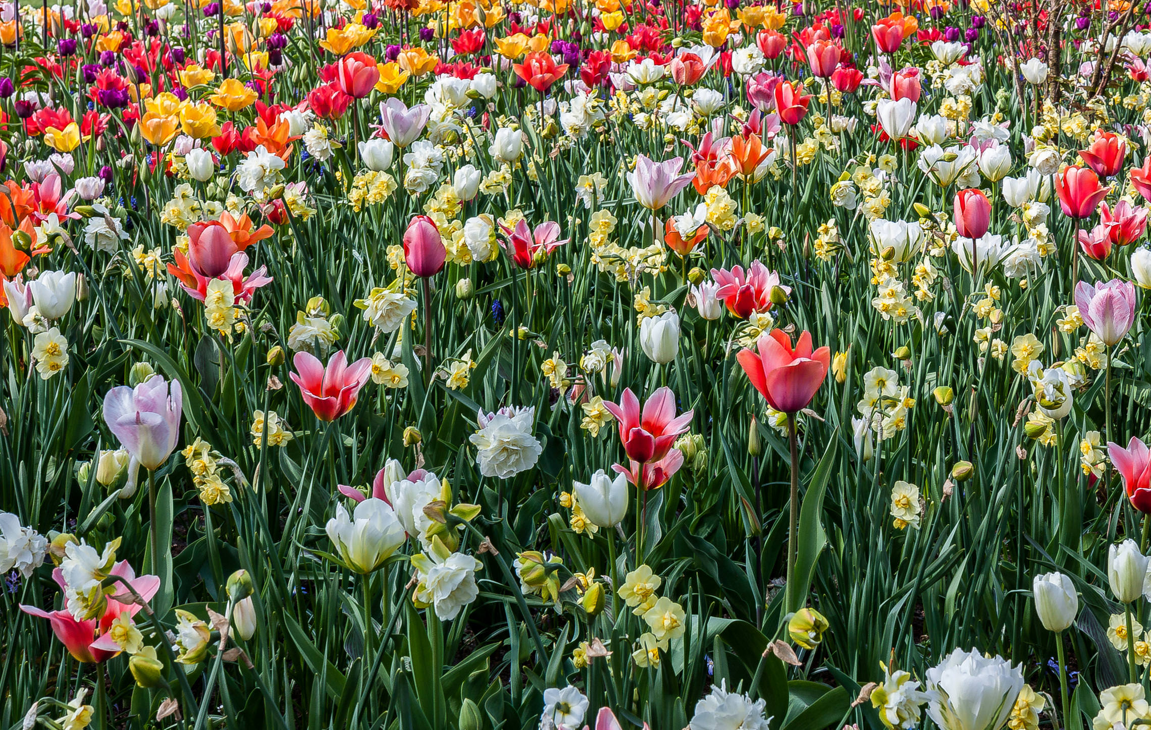 Tulips in Holland 04-2015 (4)