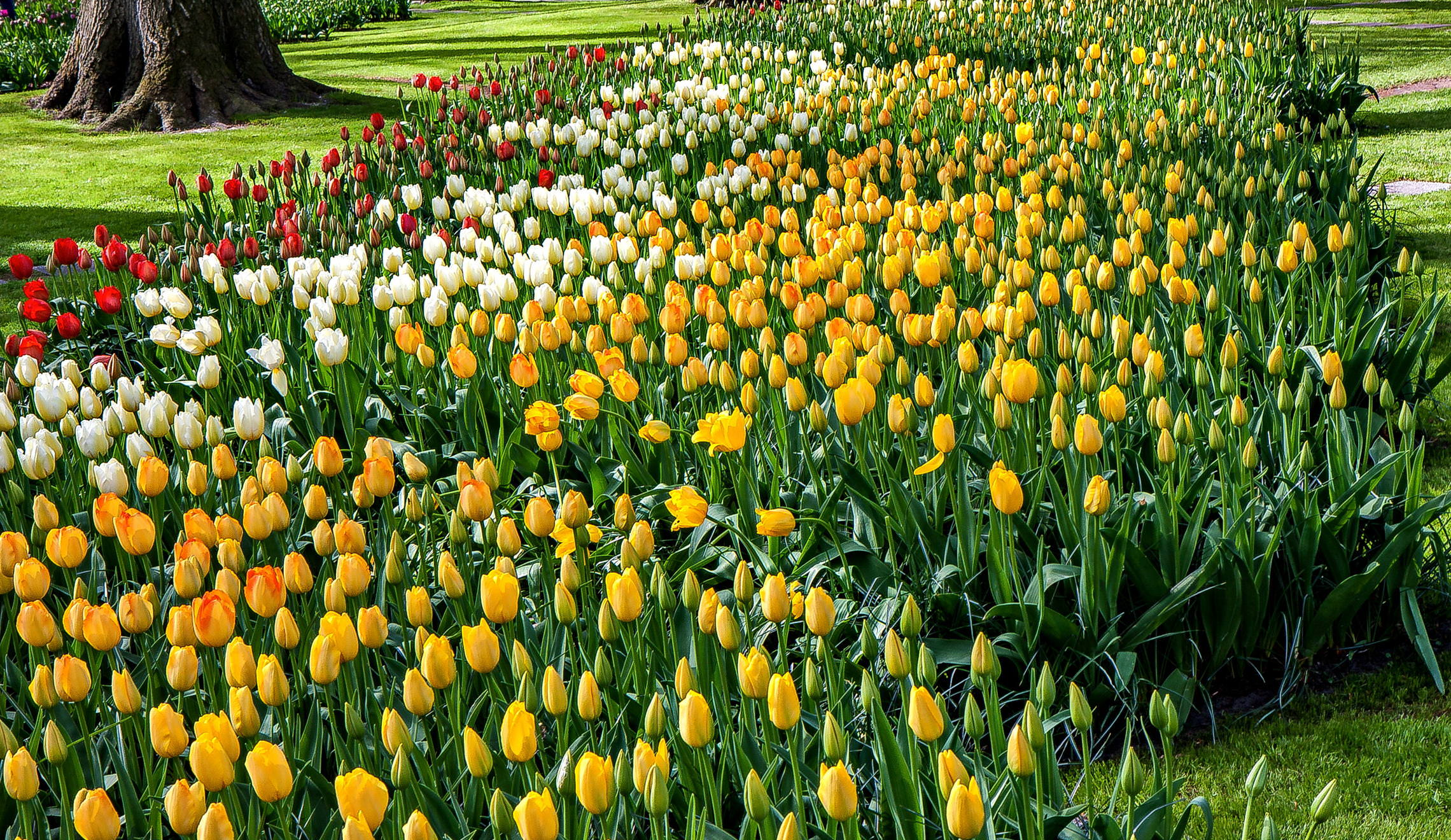 Tulips in Holland 04-2015 (13)
