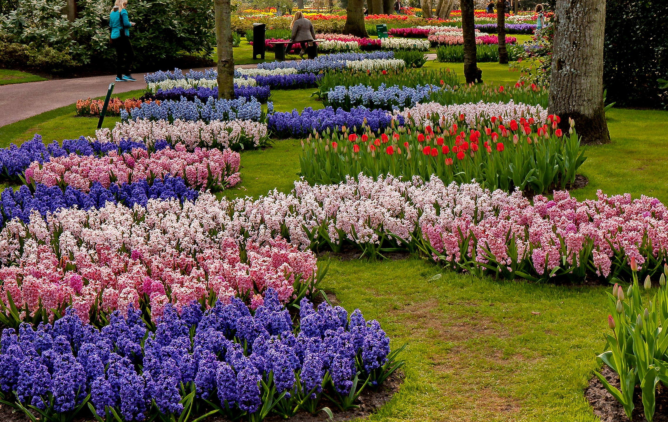 Tulips in Holland 04-2015 (15)