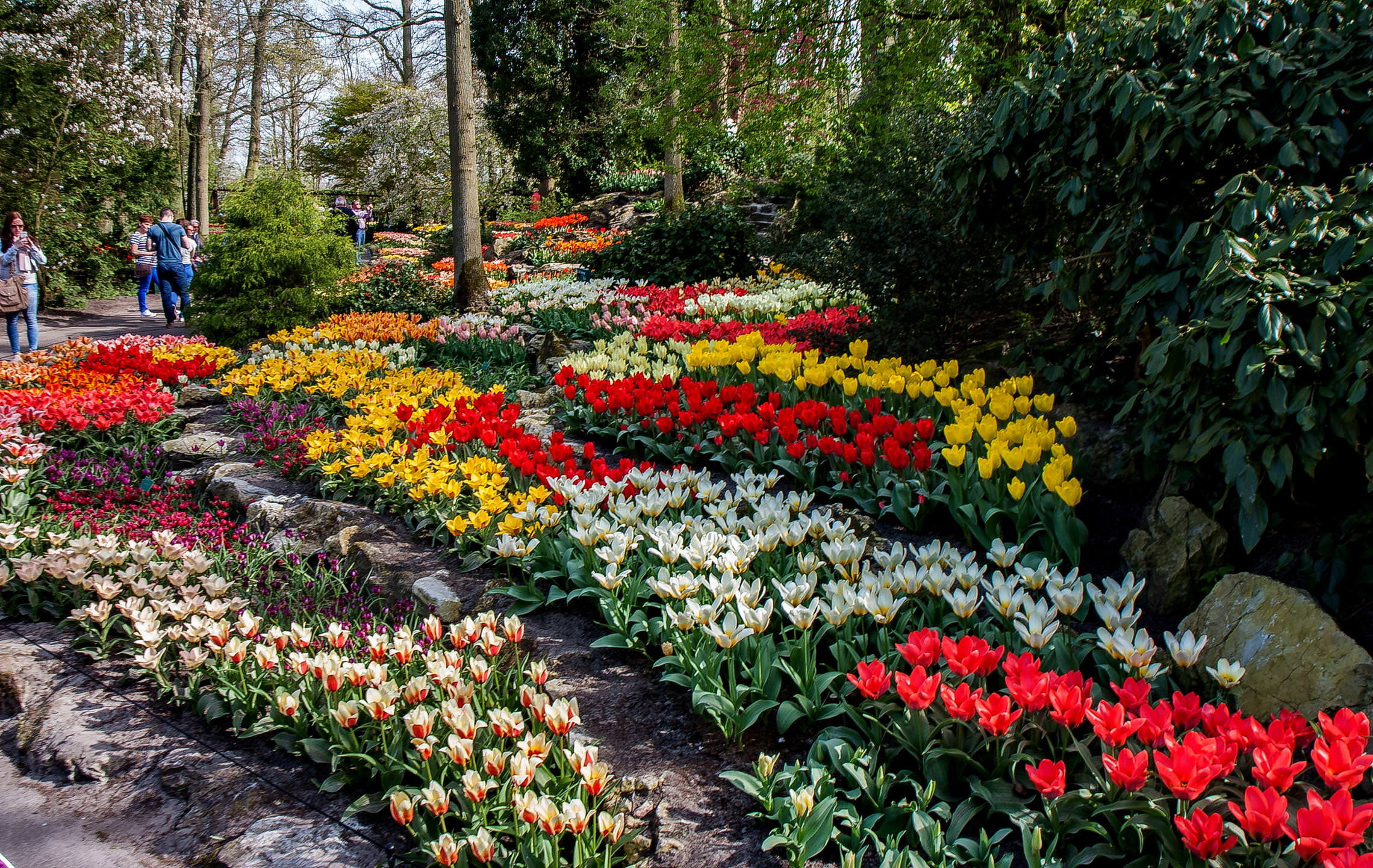 Tulips in Holland (18)