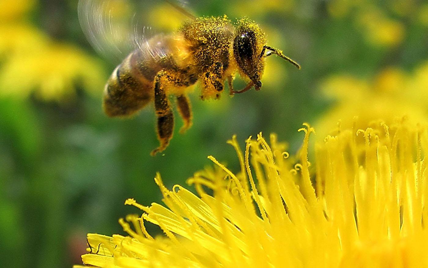Картинки пчел в полете