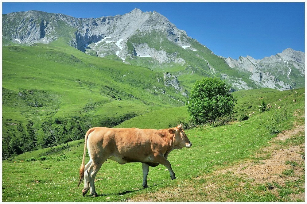 Cow in the Pyrenees