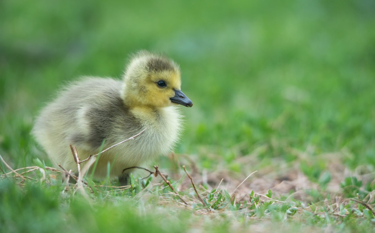little goose chick