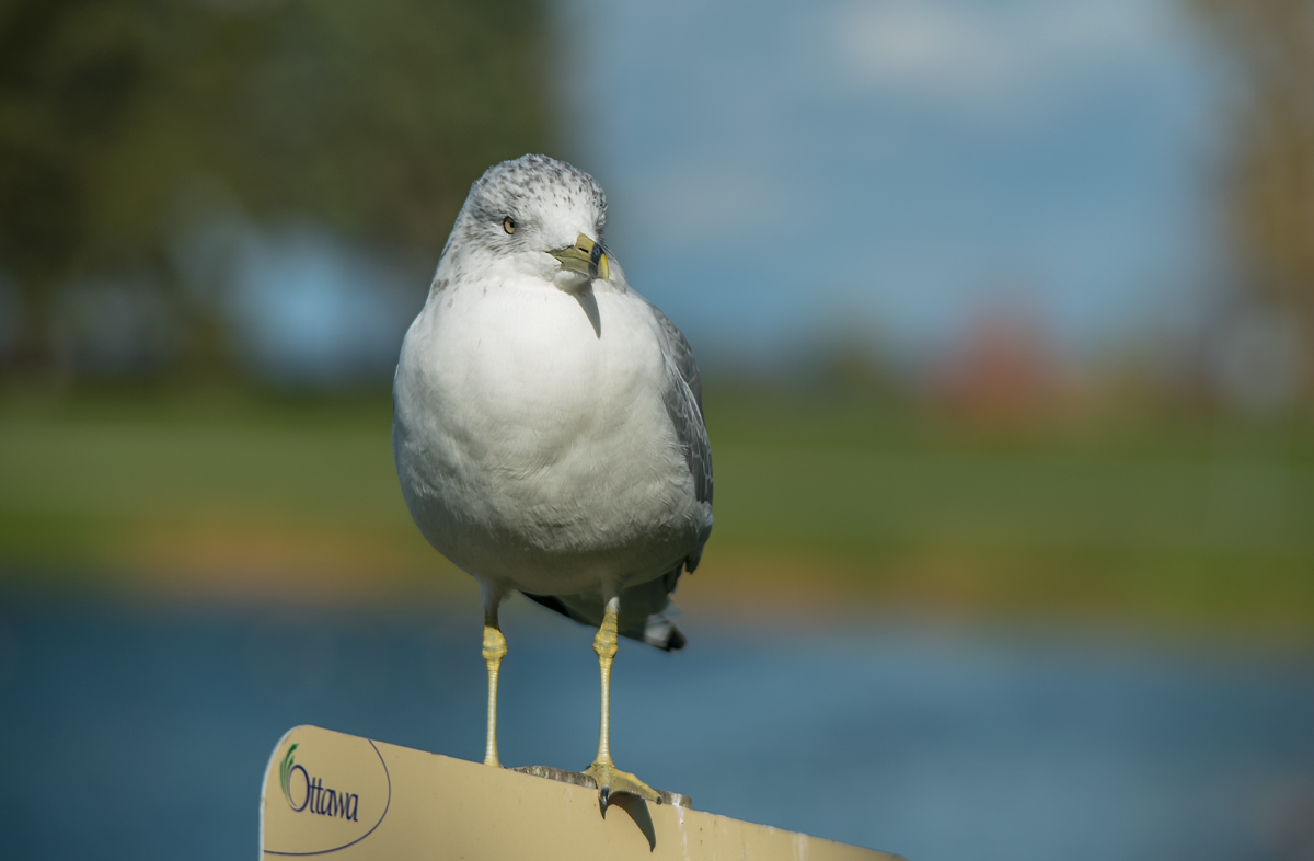 Ring-billed Gull - Делавэрская чайка
