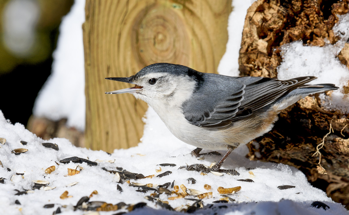Поползень~White-breasted nuthatch
