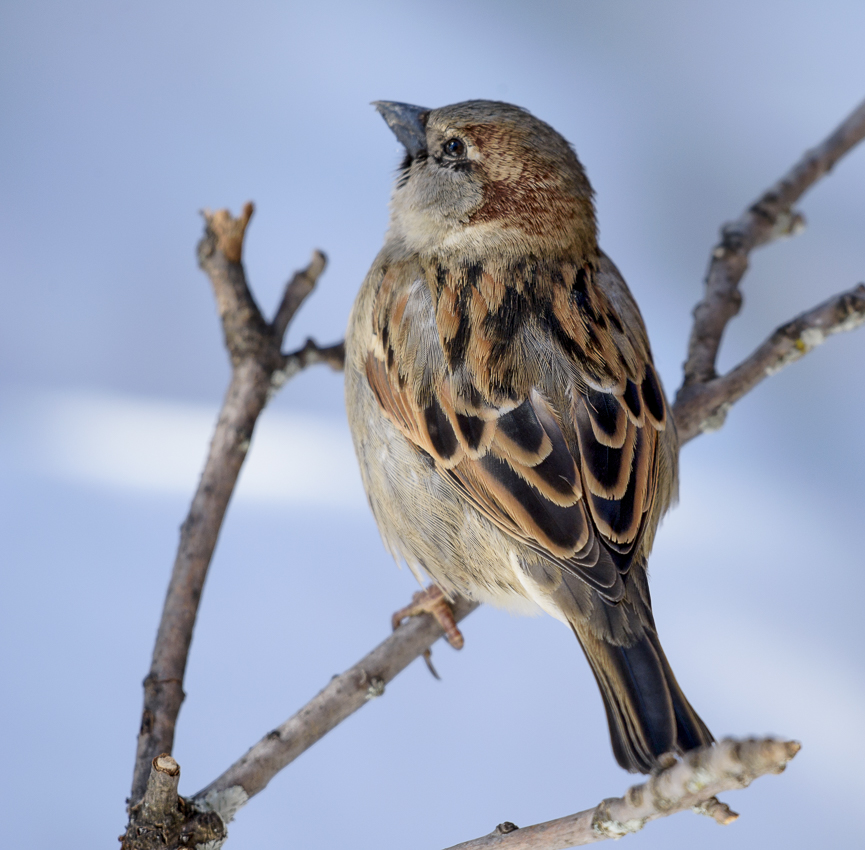 The American tree sparrow
