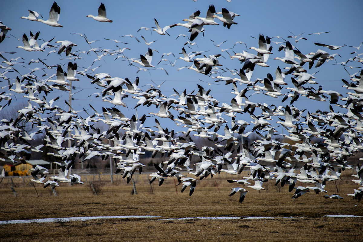 Snow Geese migration Spring 2016