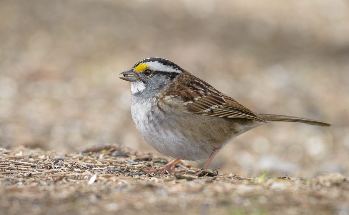 White-throated sparrow~Белошейная зонотрихия