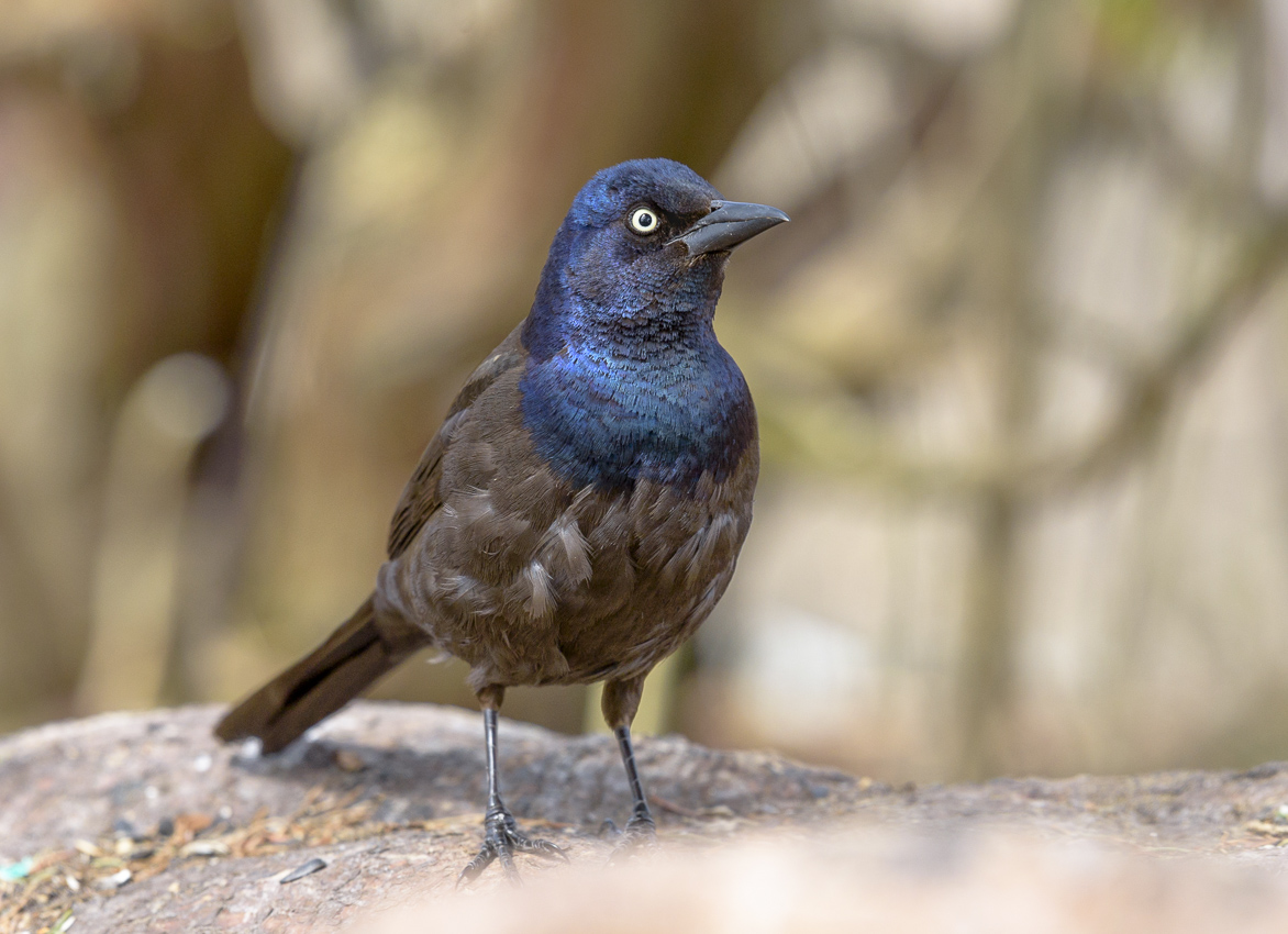 Common Grackle ~ Quiscalus quiscula