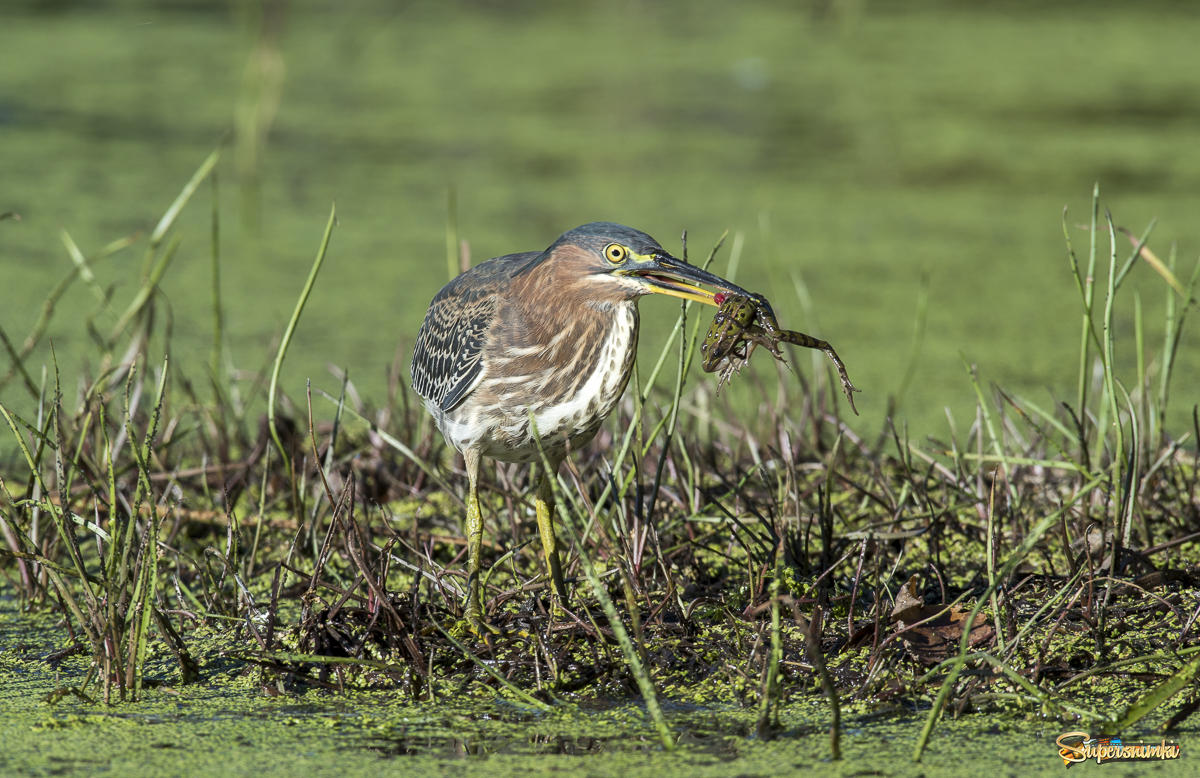 Green heron with a snack ( Leopard frog )