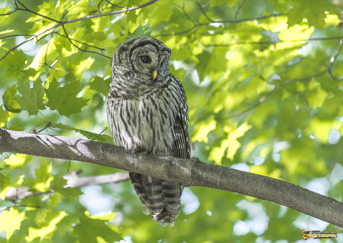 Barred Owl ~ Пёстрая неясыть