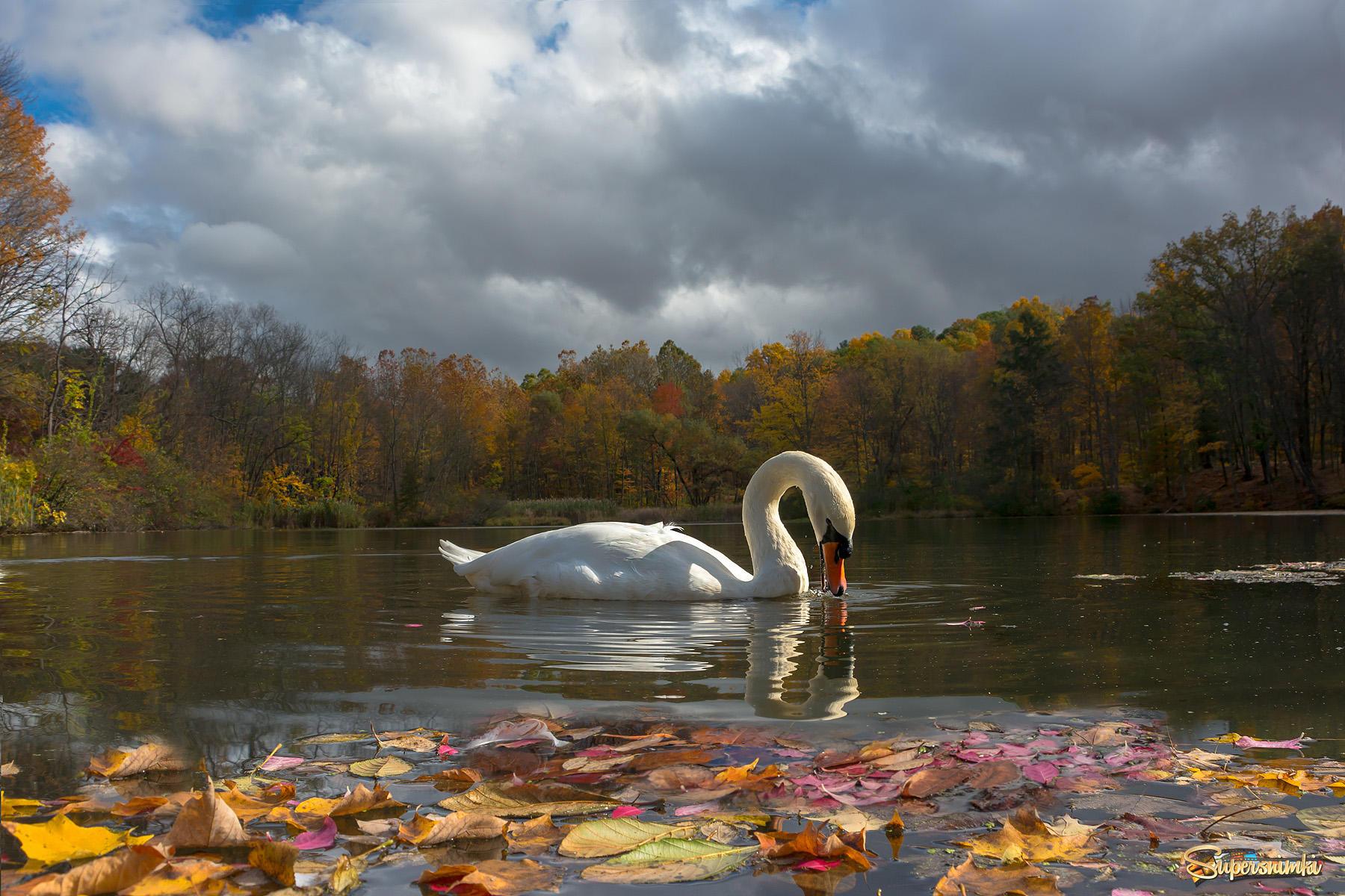 Обои на рабочий стол лебеди на озере осень дачные беседки