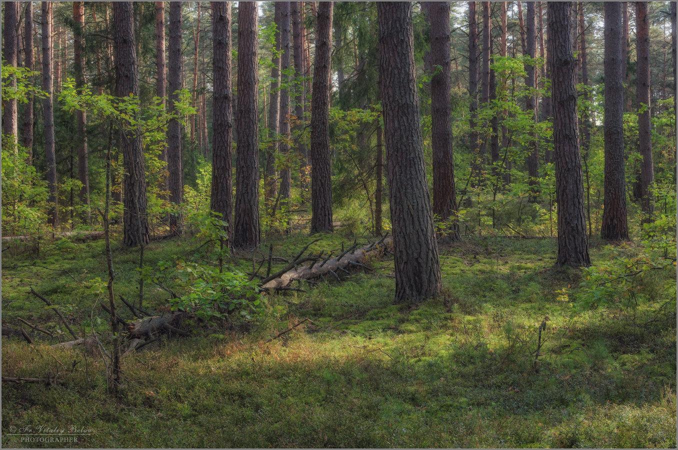 фото соснового леса гифки быть