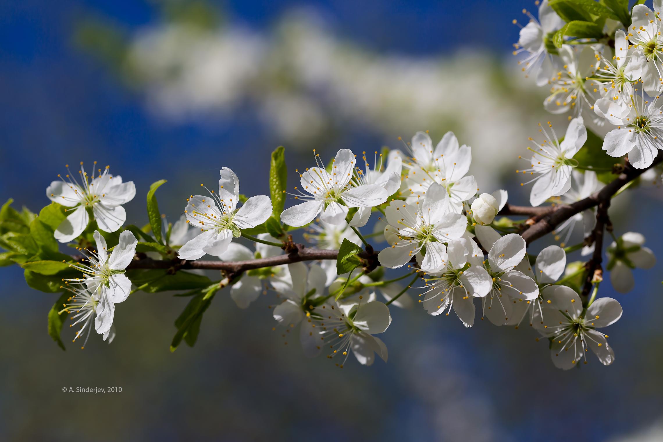 ветка цветущей вишни фото тогда