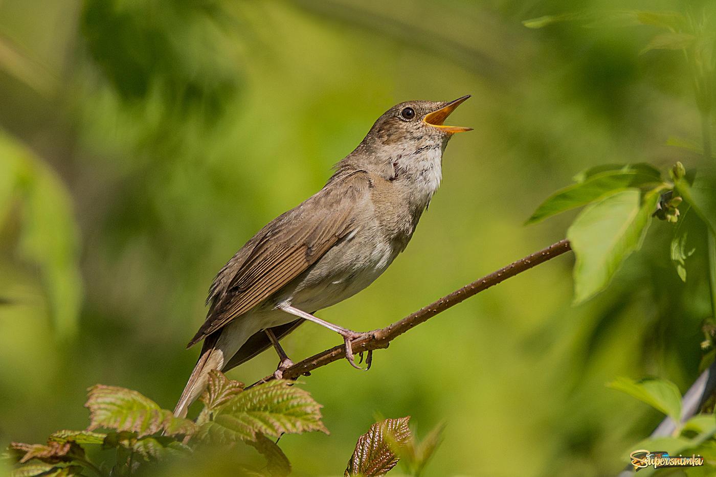 днем рождения соловей фото птицы когда поют решила
