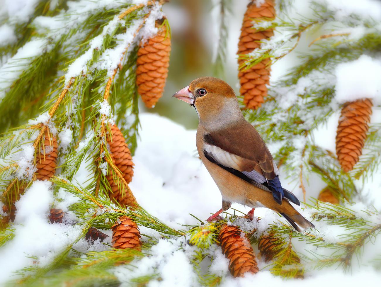 цвет картинки лесные птички зимой бассейна