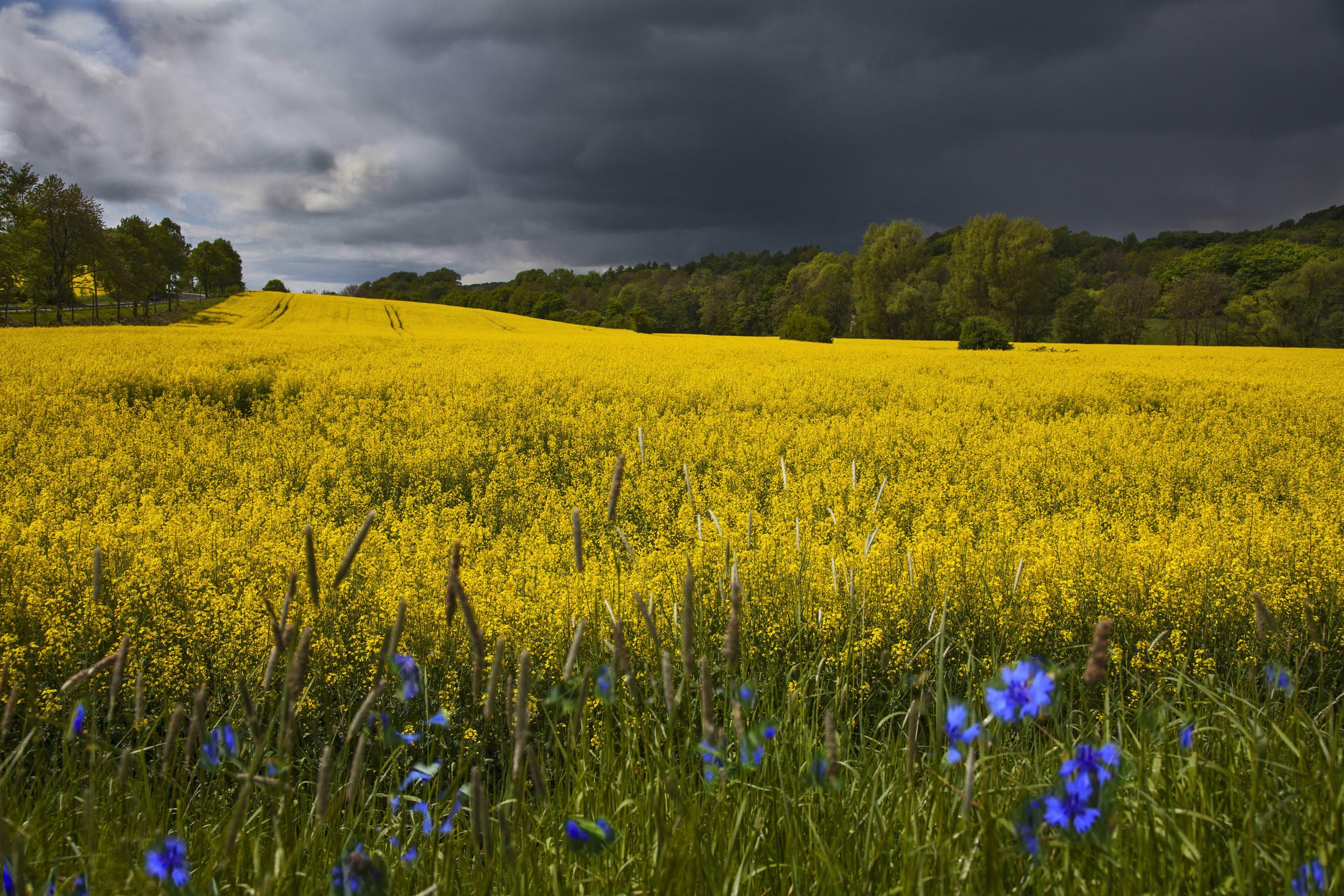 картинки весенняя рапсодия фото растение цветущее